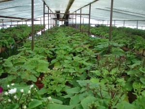 Выращивание примулы в теплицах 38